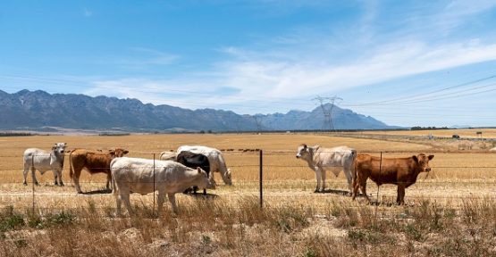 Tulbagh, Western Cape, South Africa, Cattle grazing in a farm at Tulbagh in on wheat field in the Swartland region of the Western Cape, South Africa. Image: Peter Titmuss/Education Images/Universal Images Group via Getty Images
