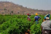 Zimbabwe licenses 57 cannabis producers as it eyes export market