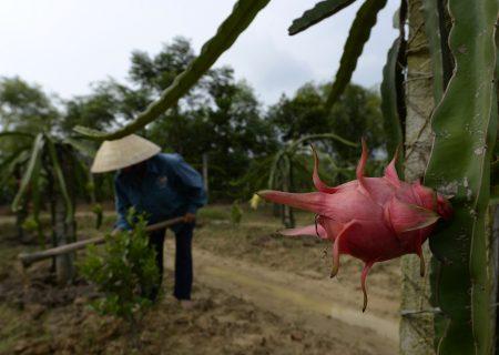 China halts Vietnam's $1bn dragon fruit trade over Covid