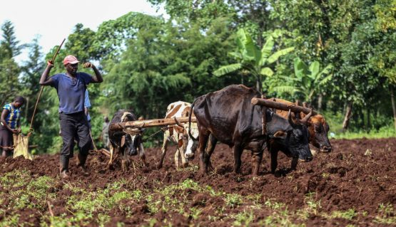 Small-scale farmers use oxen to plough their farm in Kericho County, Kenya. Image: Billy Mutai/SOPA Images/LightRocket via Getty Images